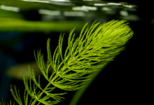 Hornwort Care Guide - Tank & Placement
