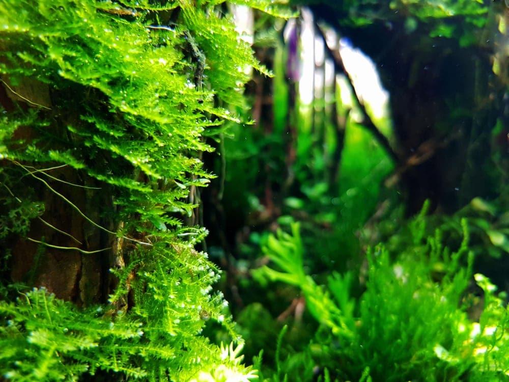 Java Moss 1