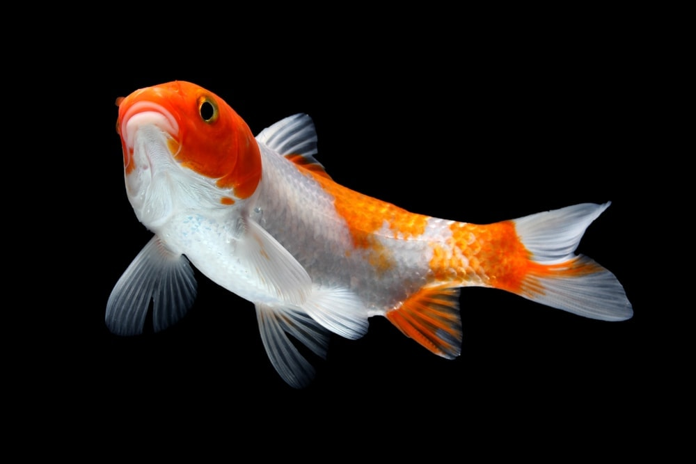 Koi Fish black background