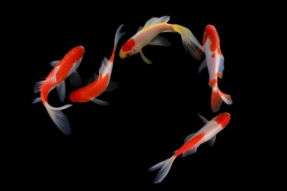 Koi Fish group swimming