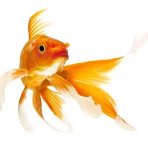Koi Fish - Care Guide and Info