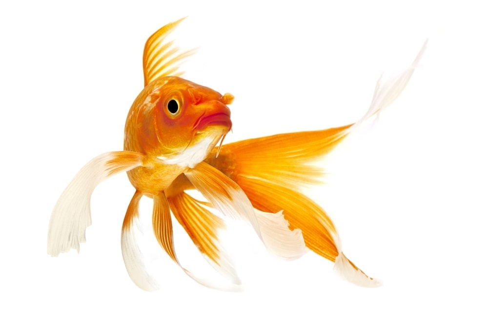 Koi Fish white background