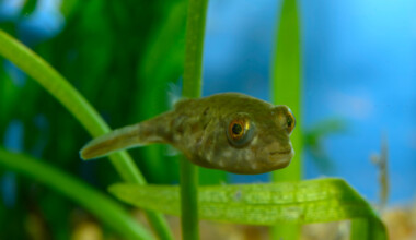 Pea Puffer in an aquarium