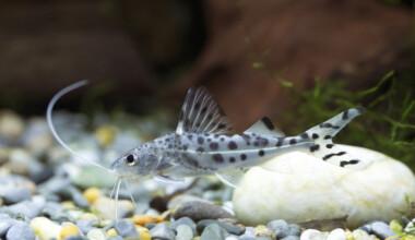 Pictus Catfish in an aquarium