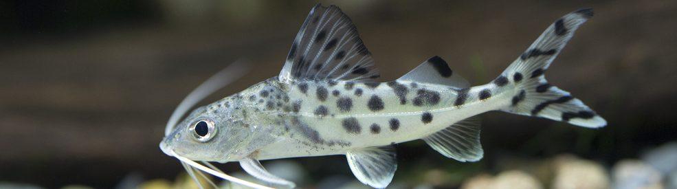 Pictus Catfish swimming e1580761217550