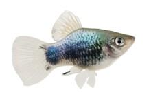 Platy Fish Care Guide - Diet, Breeding & More