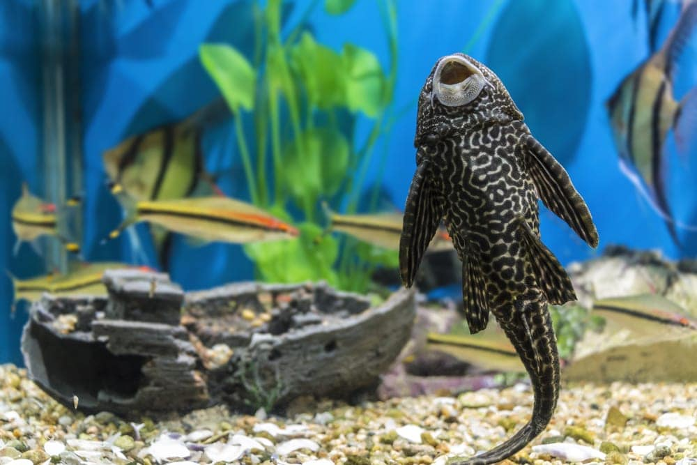 Plecostomus sucks in an aquarium