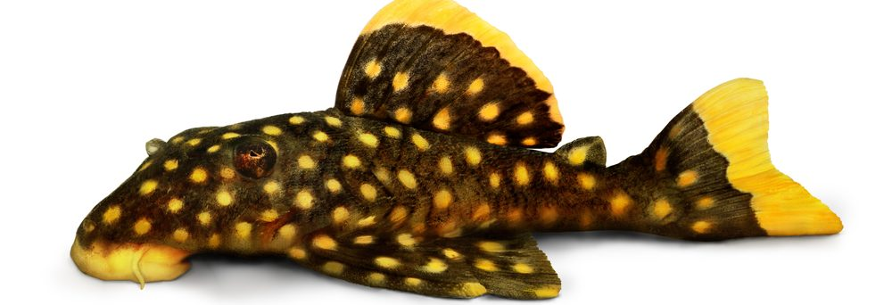 Plecostomus white background e1580929169340