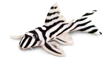 Plecostomus zebra isolated