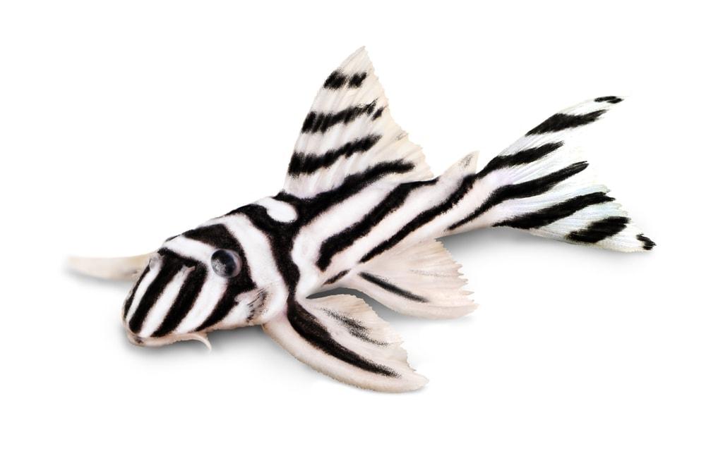 Plecostomus zebra isolated