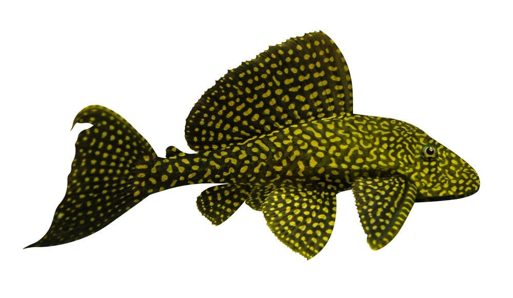 Plecostomushuge one