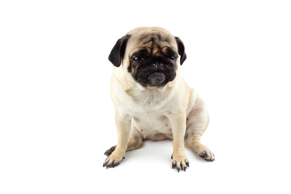 Pug 1