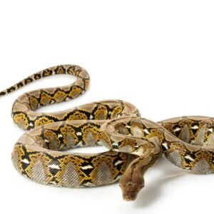 6 Facts About the Reticulated Python