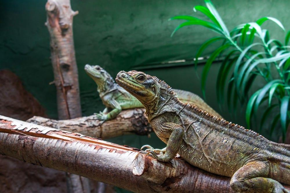 Sailfin Dragon Lizard 2