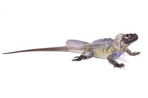 Sailfin Dragon Lizard white bg