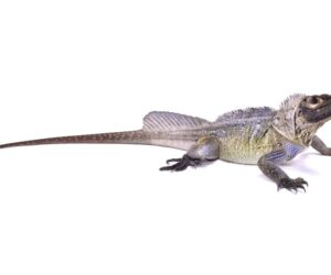 Sailfin Dragon Lizard white bg