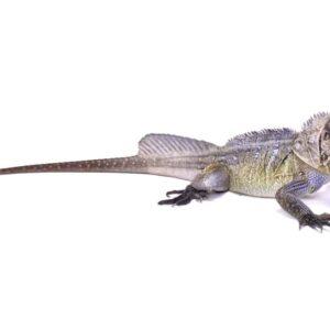 Sailfin Dragon Lizard Care Guide - Size & Lifespan