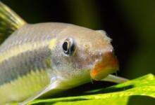 Siamese Algae Eater Care Guide - Diet, Breeding & More