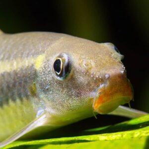 Siamese Algae Eater - Care Guide & Info