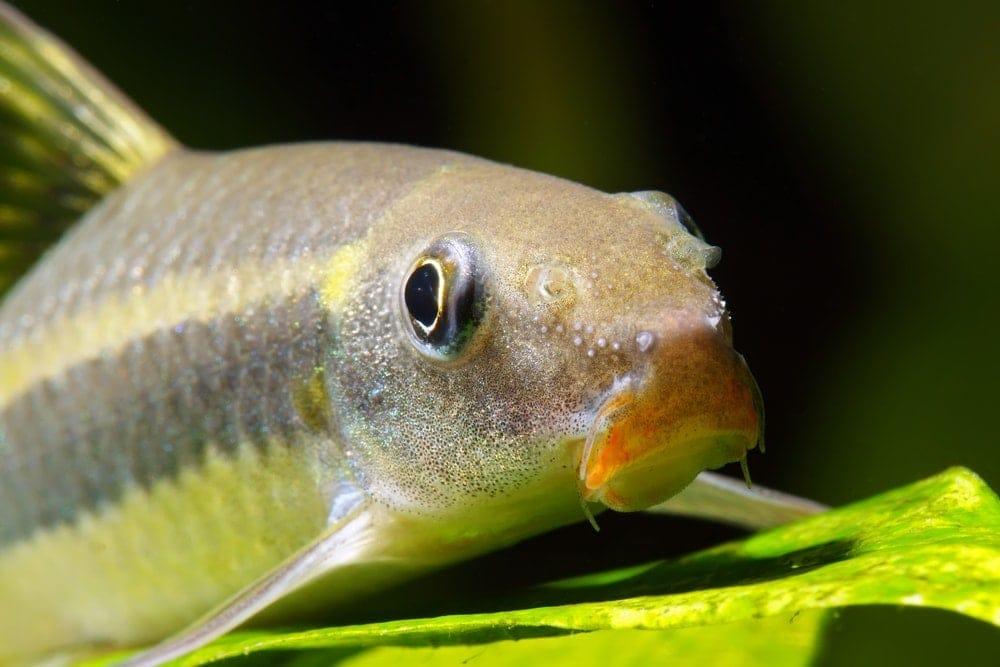 Siamese Algae Eater portrait