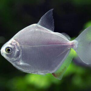 Silver Dollar Fish - Care Guide & Info