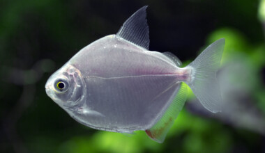 Silver Dollar Fish in an aquarium