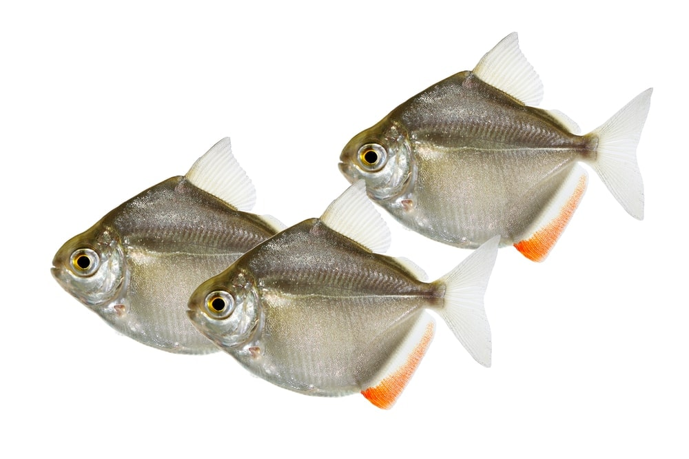 Silver Dollar Fishes white background