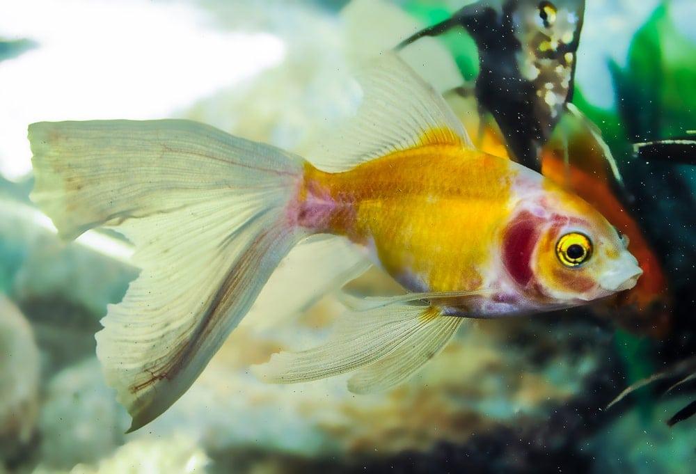 Single Tailed goldfish