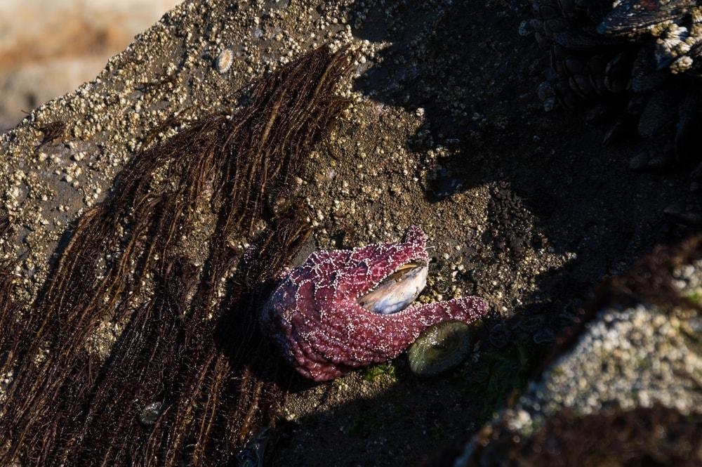 Starfish eats mussels