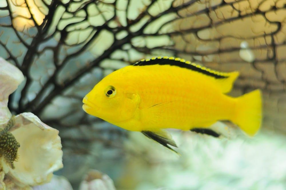 Yellow african Cichlid Fish in Aquarium