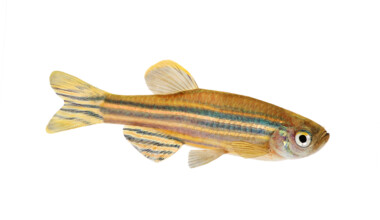 Zebra Danio white background