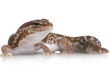 African Fat-tailed Gecko Care Guide & Info