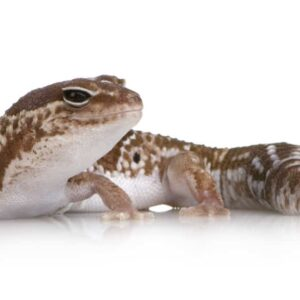 African Fat-tailed Gecko - Care Guide & Info