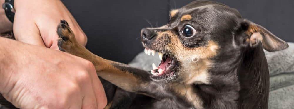 agressive small dog e1582980848121