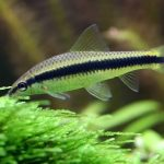 15 Best Algae Eaters for Freshwater Aquariums