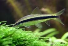 15 Best Algae Eaters for Freshwater Aquariums