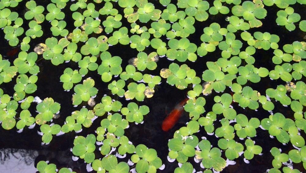 aquarium duck weed