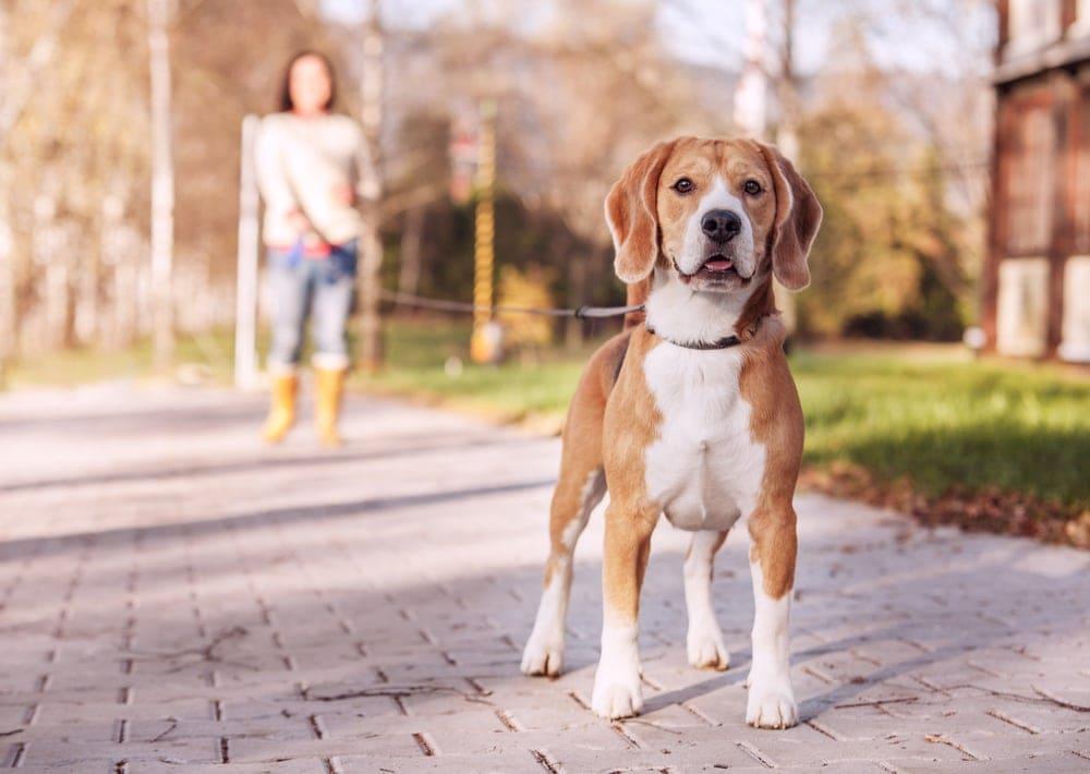 beagel walks on a leash