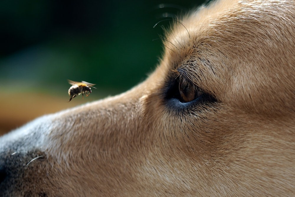 bee on a dogs nose