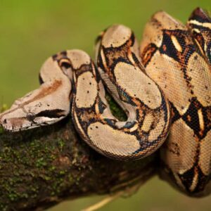 Boa Constrictor Care Guide - Size, Diet & More