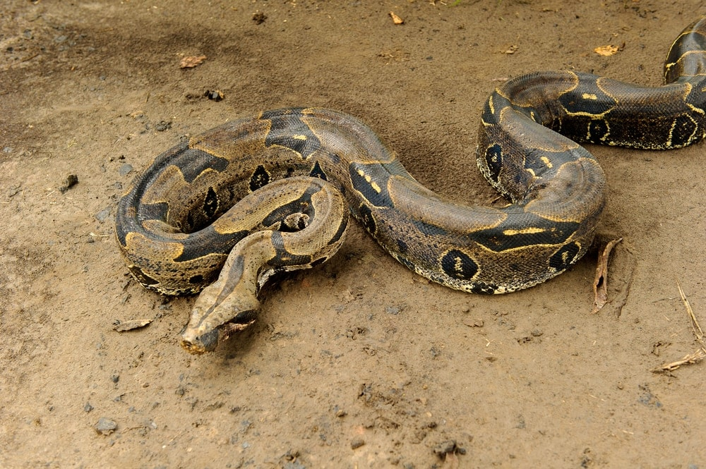 boa constrictor dirt