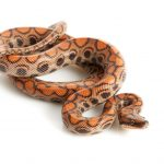 Brazilian Rainbow Boa - Care Guide & Info