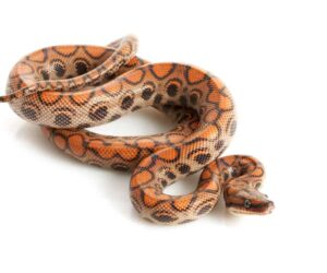 brazilian rainbow boa wood