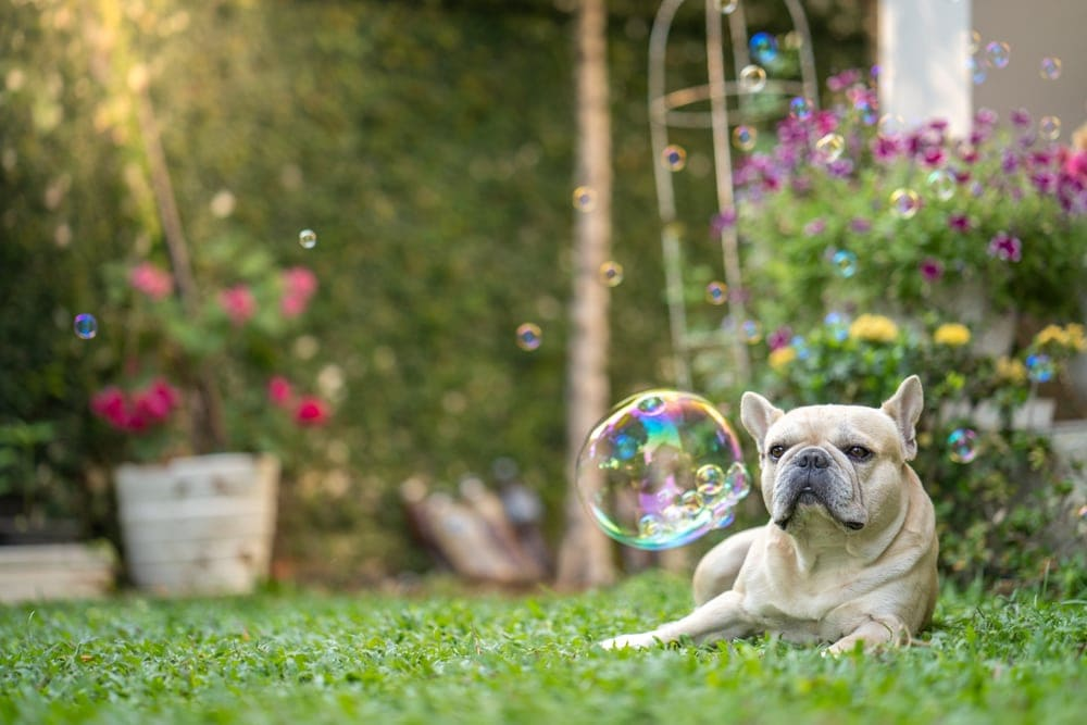 bulldog enjoys soap bubbles