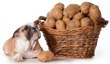 bulldog wants to eat fresh potato