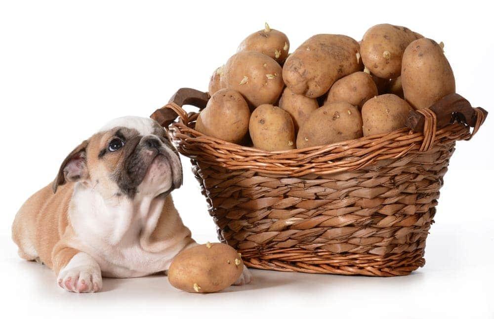 bulldog wants to eat fresh potato