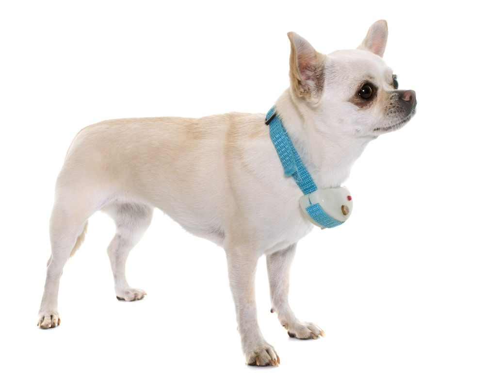chihuahua with dogs shock collar