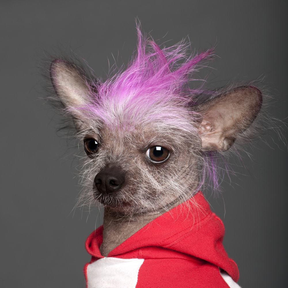 chinese crested with funny hair style