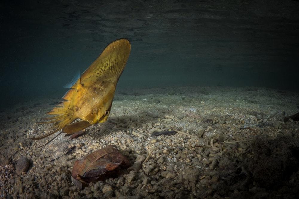 cooper batfish