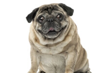 How Long Do Pugs live?